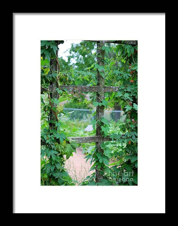 Trellis Framed Print featuring the photograph Wooden Trellis And Vines by Nancy Mueller