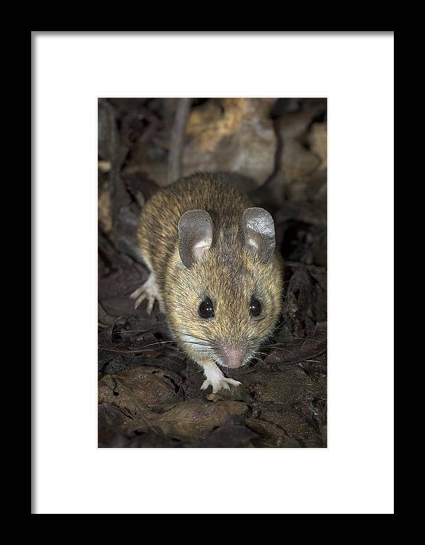 Apodemus Sylvaticus Framed Print featuring the photograph Woodmouse by Colin Varndell