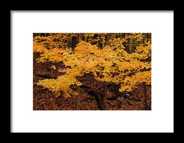 Woods Of Yellow Framed Print featuring the photograph Woods Of Yellow by Rachel Cohen