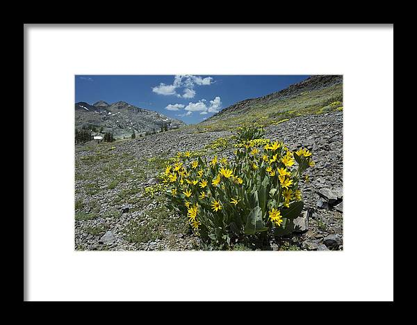Woolly Mule's Ears Framed Print featuring the photograph Woolly Mule's Ears (wyethia Mollis) by Bob Gibbons