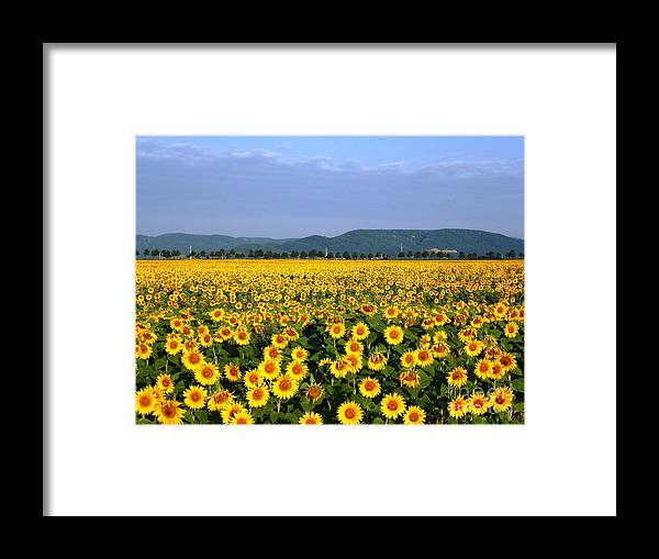 Sunflower Framed Print featuring the photograph World of Sunflowers by Amalia Suruceanu