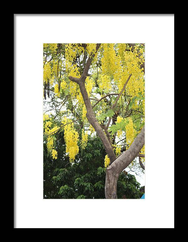 Tree Framed Print featuring the photograph Yellow Cascades by Robin Regan