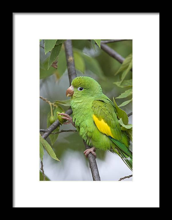 Mp Framed Print featuring the photograph Yellow-chevroned Parakeet Brotogeris by Suzi Eszterhas