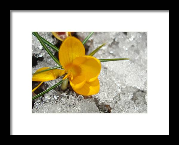 Beautiful Framed Print featuring the photograph Yellow Crocus by Kim French
