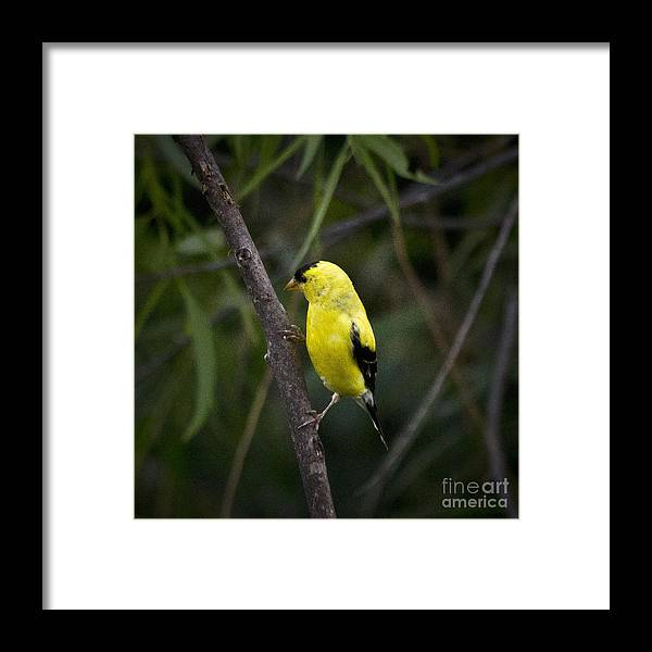 Finch Framed Print featuring the photograph Yellow Finch - Artist Cris Hayes by Cris Hayes