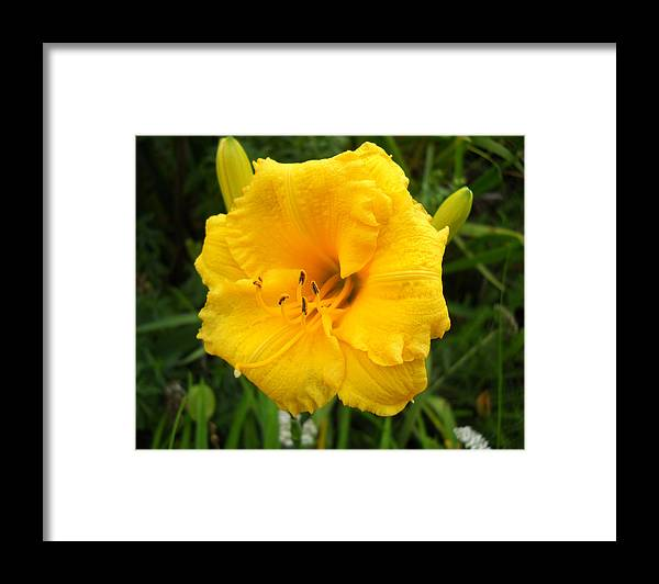 Flower Photo Framed Print featuring the photograph Yellow Lily - Oshun by Duwayne Washington