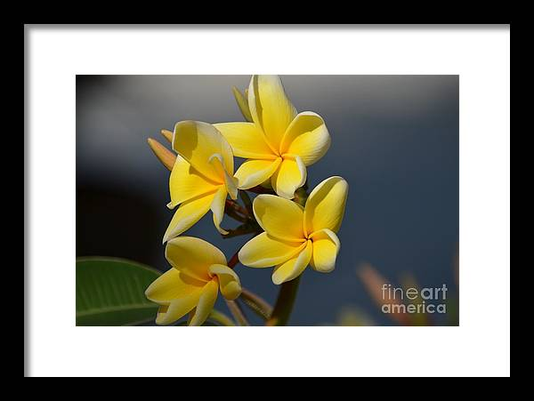 Yellow Framed Print featuring the photograph Yellow Pinwheels by Janie North