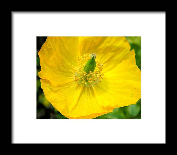 Framed Print featuring the photograph Yellow Poppy In Bloom by Mark J Seefeldt