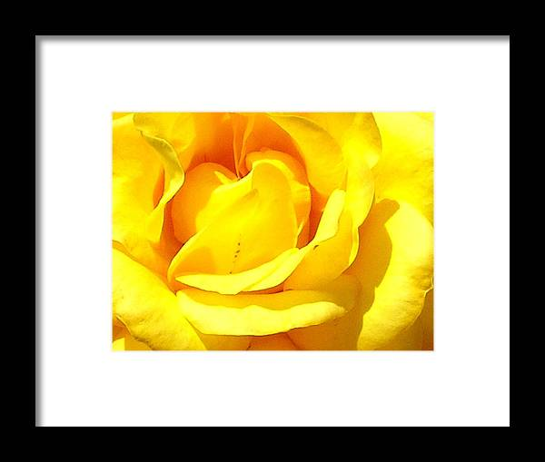 Yellow Framed Print featuring the photograph Yellow Rose by Ann Warrenton