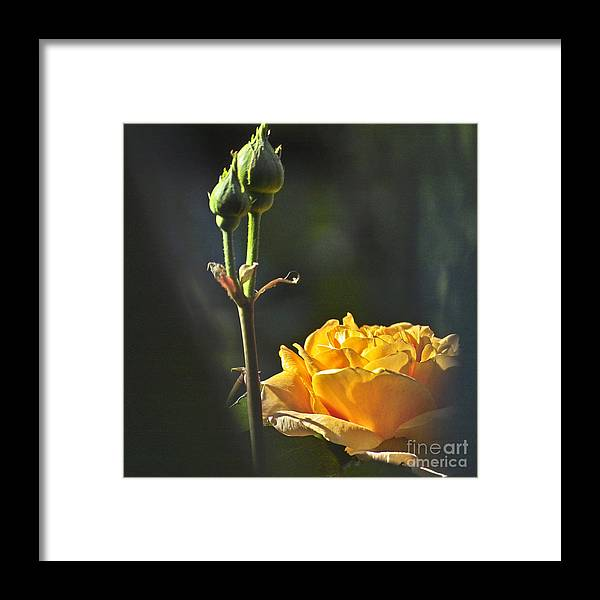 Rose Framed Print featuring the photograph Yellow Rose by Heiko Koehrer-Wagner