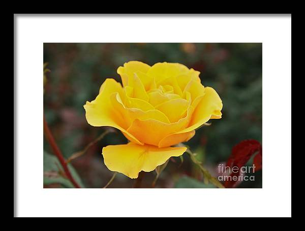 Rose Framed Print featuring the photograph Yellow Rose by LEX Photography by Alex King