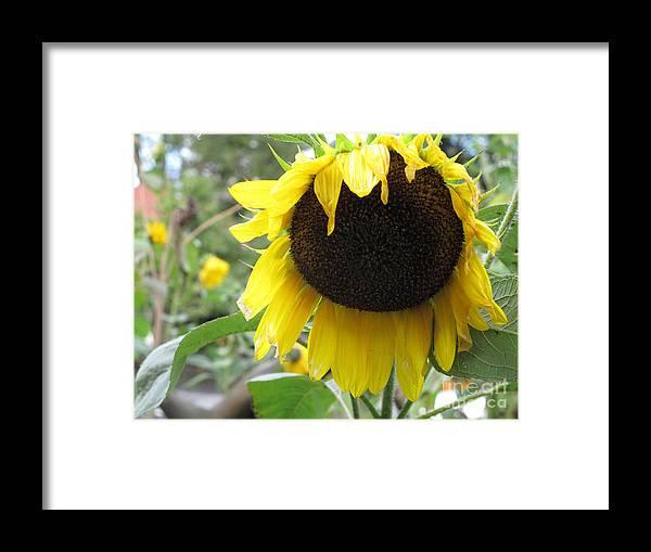 Sunflower Framed Print featuring the photograph Yellow Splendor by Louise Peardon