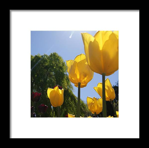 Flowers Framed Print featuring the photograph Yellow Tulips by Tina McKay-Brown