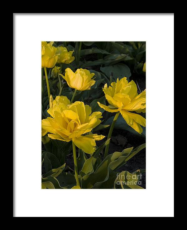 Yellow Framed Print featuring the photograph Yellow Tulips Tulipes Jaune by Nicole Cloutier Photographie Evolution Photography
