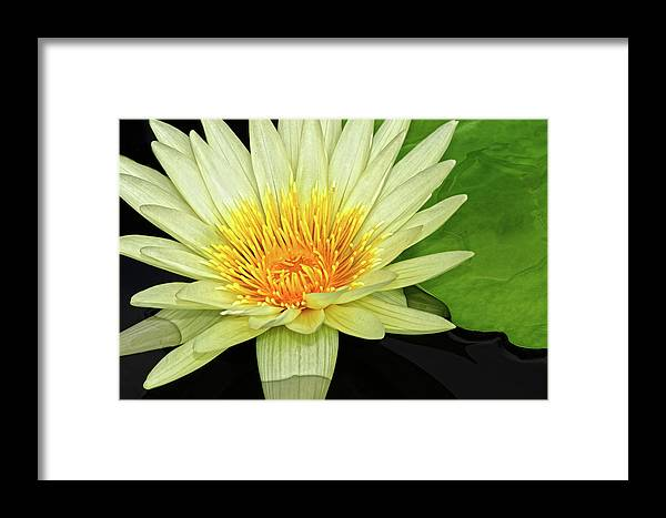 Waterlily Framed Print featuring the photograph Yellow Waterlily by Dave Mills
