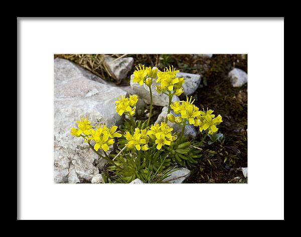 Yellow Whitlow-grass Framed Print featuring the photograph Yellow Whitlow-grass (draba Aizoides) by Bob Gibbons