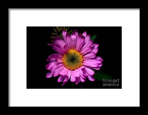 Subalpine Fleabane Framed Print featuring the photograph Yoho - Subalpine Fleabane Wildflower by Terry Elniski