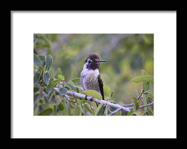 Costas Hummingbird Framed Print featuring the photograph You Said What by Saija Lehtonen