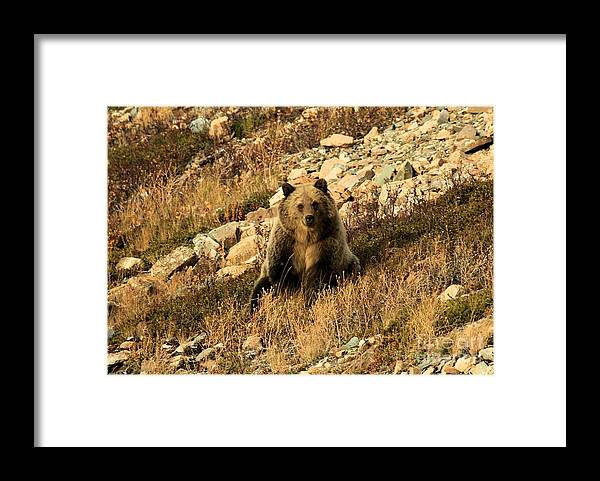 Grizzly Bear Framed Print featuring the photograph You Whistling At Me? by Adam Jewell