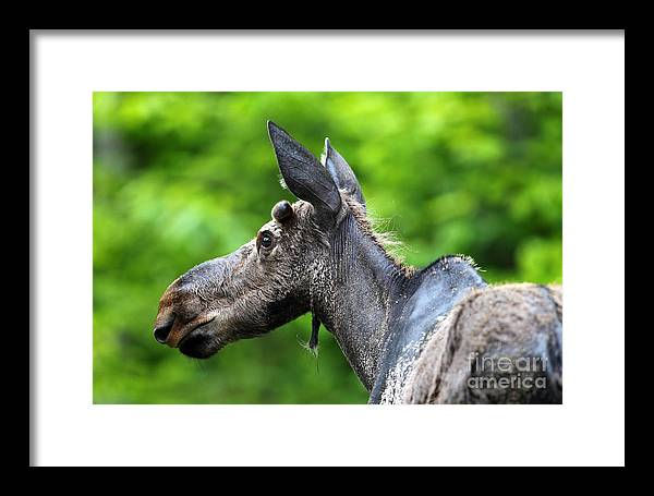 Moose Framed Print featuring the photograph Young Bull Moose by Rick Mann