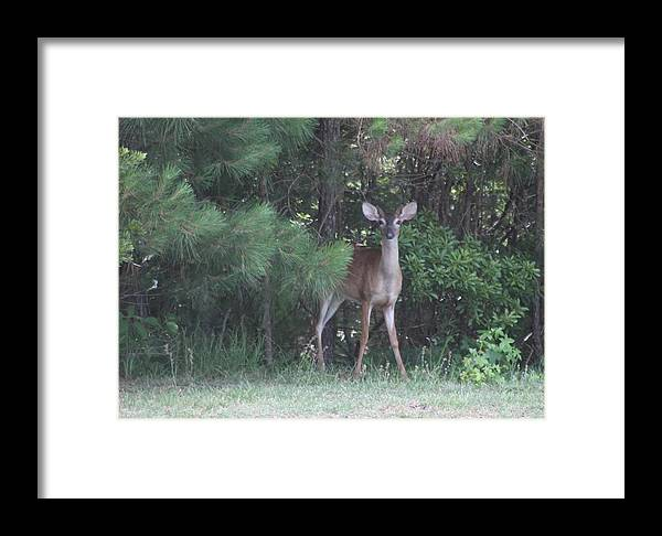 Deer Framed Print featuring the photograph Young Deer Peering Out Of The Woods by Jeanne Kay Juhos