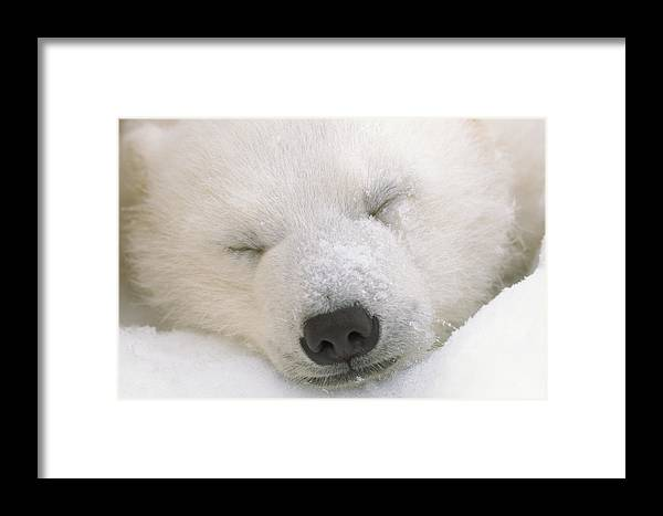 Canada Framed Print featuring the photograph Young Polar Bear With Snow Dusted by Norbert Rosing