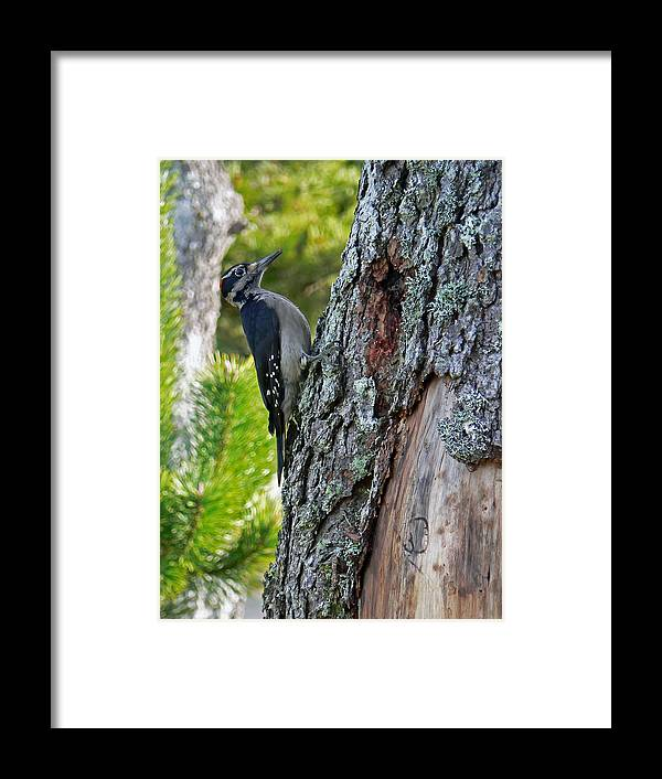 Bird Framed Print featuring the photograph Young Woody Makes A Home by Pamela Patch