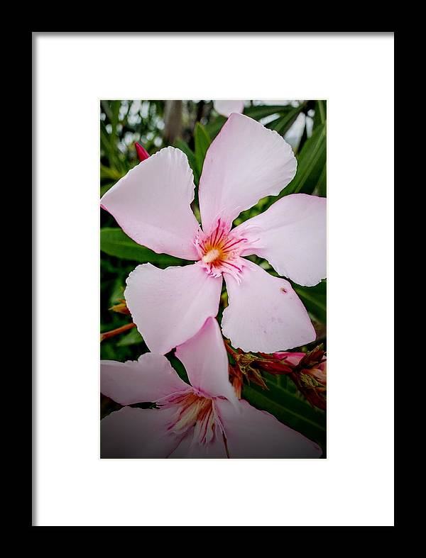 Australian Flower Framed Print featuring the photograph Pink Fan Tree Flower by Alexey Dubrovin
