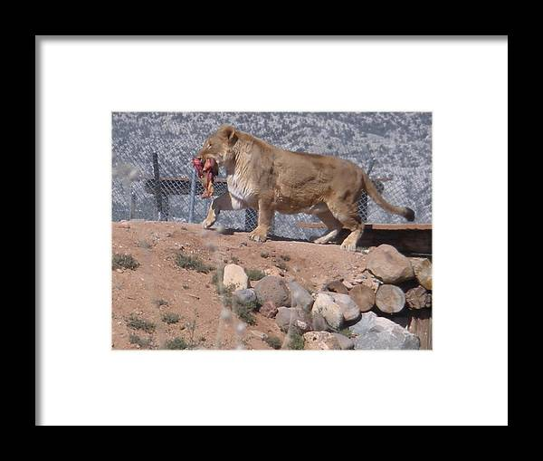 Lion Framed Print featuring the photograph Steak For Supper by Jeanette Oberholtzer