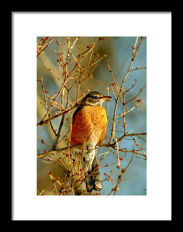 Robin Framed Print featuring the photograph 020411-61 by Mike Davis