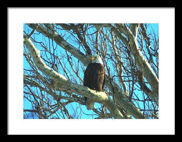 Eagle Framed Print featuring the photograph 020609-57 by Mike Davis