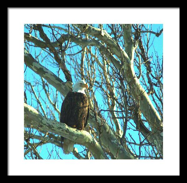 Eagle Framed Print featuring the photograph 020609-73 by Mike Davis