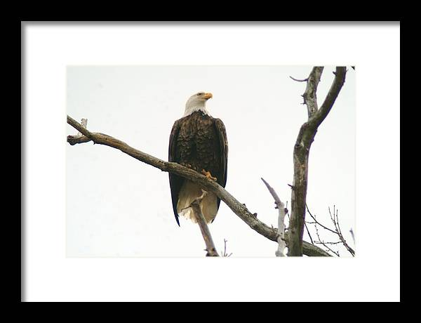 Eagle Framed Print featuring the photograph 021609-17 by Mike Davis