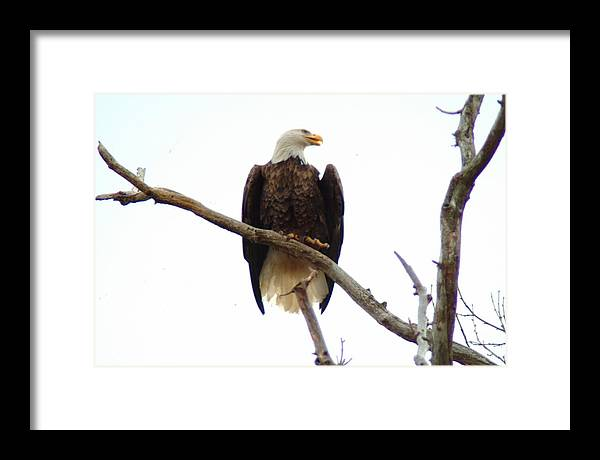 Eagle Framed Print featuring the photograph 021609-18 by Mike Davis