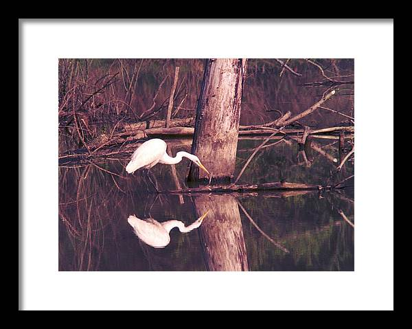 Great Egret Framed Print featuring the photograph 070406-17 by Mike Davis