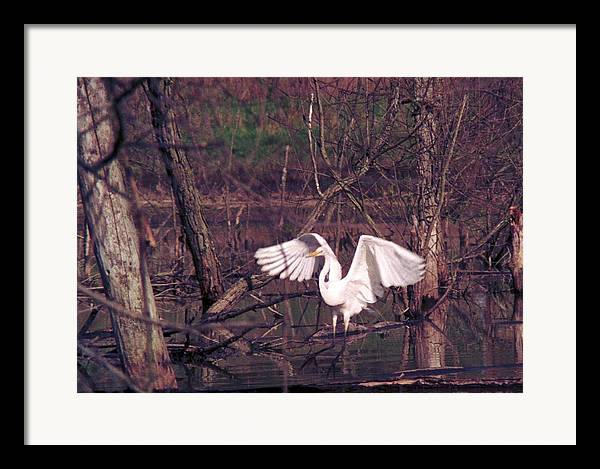 Egret Framed Print featuring the photograph 070406-22 by Mike Davis