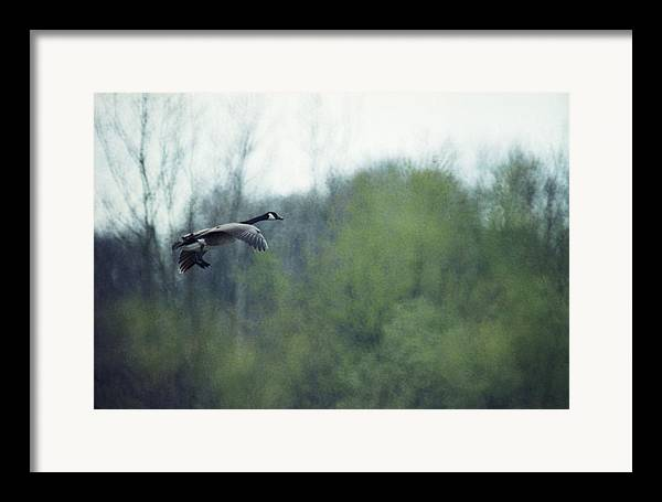Canada Goose Framed Print featuring the photograph 070406-40 by Mike Davis