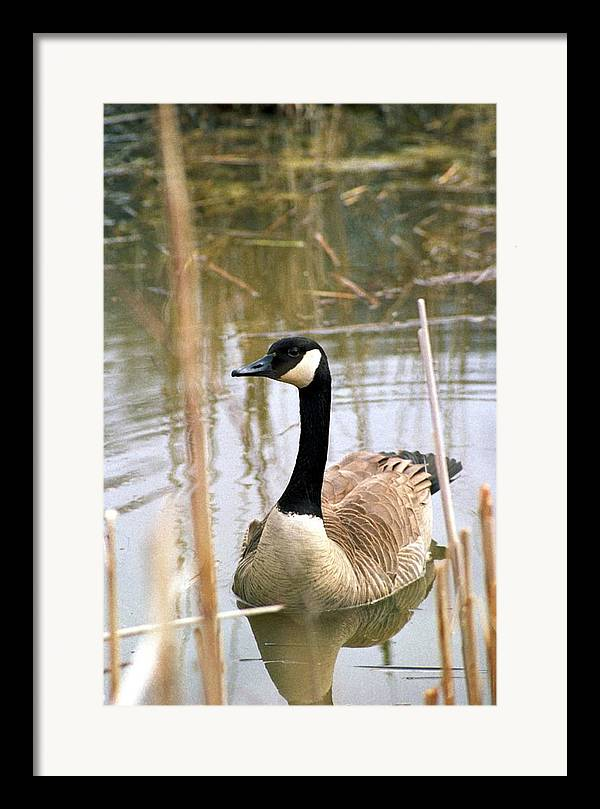 Canada Goose Framed Print featuring the photograph 070406-41 by Mike Davis