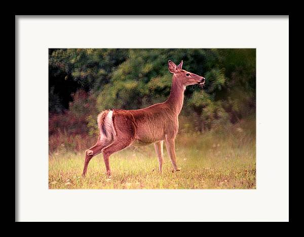 Deer Framed Print featuring the photograph 070406-57 by Mike Davis