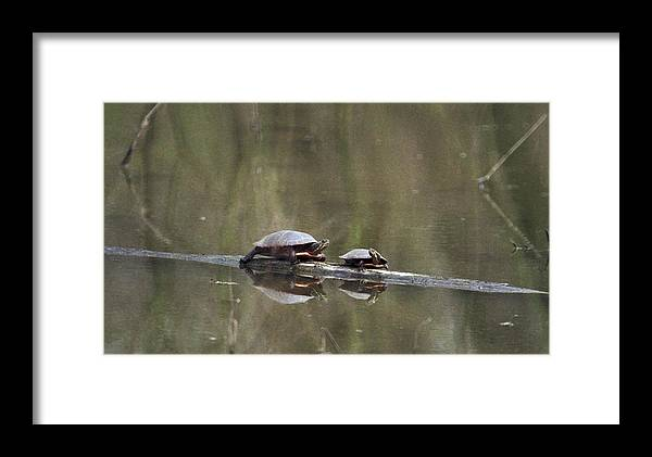 Turtle Framed Print featuring the photograph 070406-68 by Mike Davis