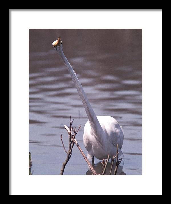 Egret Framed Print featuring the photograph 070406-9 by Mike Davis