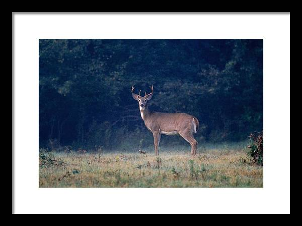 Deer Framed Print featuring the photograph 072106-25 by Mike Davis