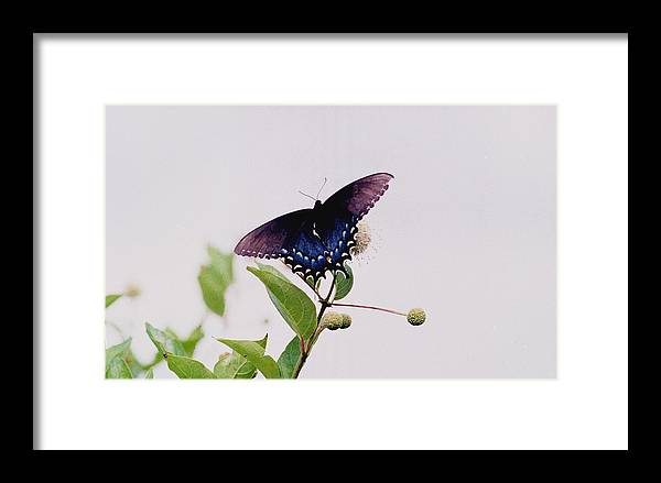 Butterfly Framed Print featuring the photograph 080706-5 by Mike Davis