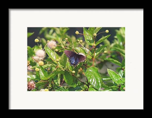 Butterfly Framed Print featuring the photograph 080706-6 by Mike Davis