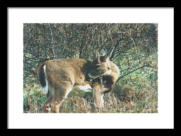 Deer Framed Print featuring the photograph 080706-78 by Mike Davis