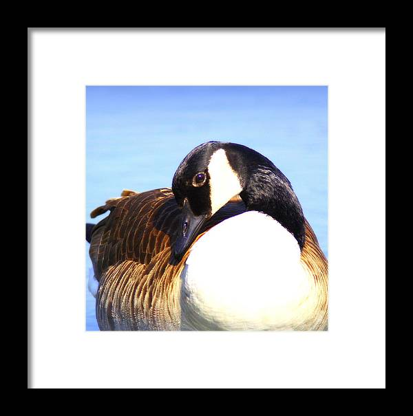Canada Goose Framed Print featuring the photograph 0932 - Canada Goose by Travis Truelove
