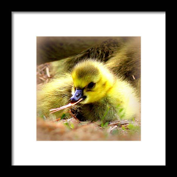 Canada Goose Framed Print featuring the photograph 0983 - Canada Goose by Travis Truelove