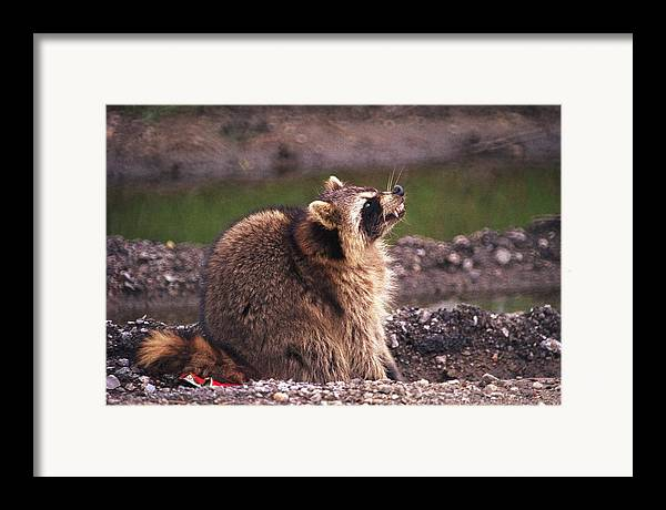 Raccoon Framed Print featuring the photograph 070406-67 by Mike Davis