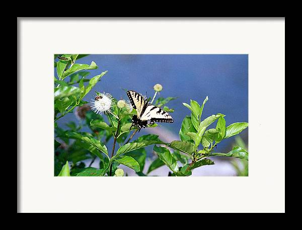 Butterfly Framed Print featuring the photograph 080706-7 by Mike Davis