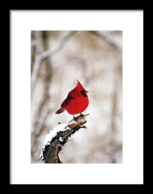Cardinal Framed Print featuring the photograph 080806-26 by Mike Davis